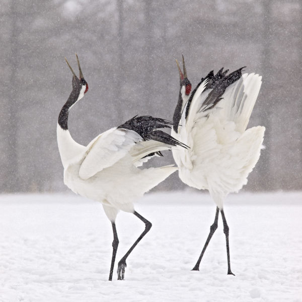 A large East Asian crane and among the rarest cranes in the world. In some parts of its range, it is known as a symbol of luck, longevity and fidelity.