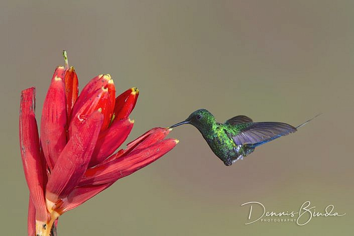 The green thorntail (Discosura conversii) is a small hummingbird that is a resident breeder from Costa Rica to western Ecuador. These birds visit small flowers