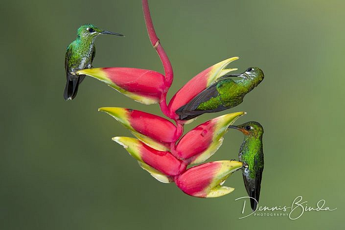 The green-crowned brilliant (Heliodoxa jacula) is a fairly large hummingbird that lives in the highlands of Costa Rica all the way south to Equador. Unlike many hummingbirds, the green-crowned brilliant almost always perches to feed.