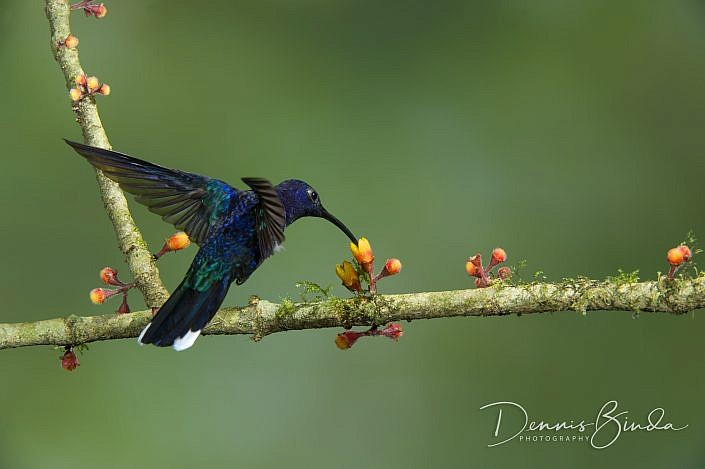 The violet sabrewing (Campylopterus hemileucurus) is a very large hummingbird native to southern Mexico and Central America as far south as Costa Rica and western Panama. It is the largest hummingbird found outside of South America and the largest sabrewi