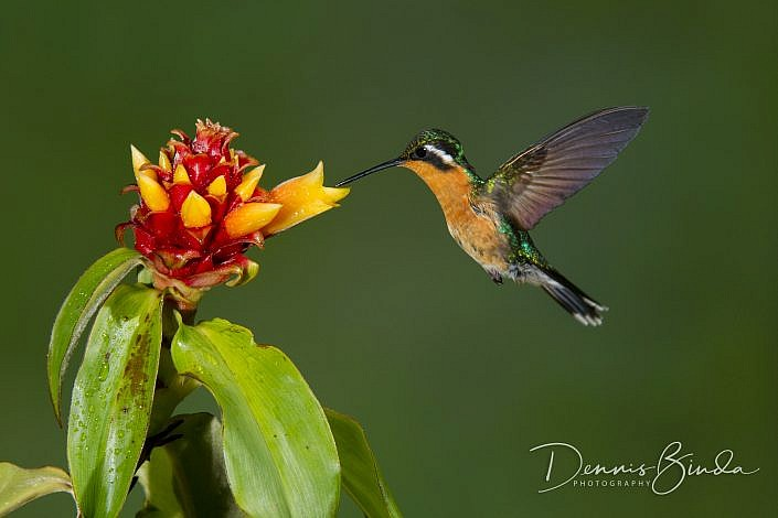 The purple-throated mountaingem (Lampornis calolaemus) is a hummingbird which breeds in the mountains of southern Nicaragua, northern Costa Rica and western Panama. The adult male has bronze-green upperparts and underparts except for a brilliant green cro