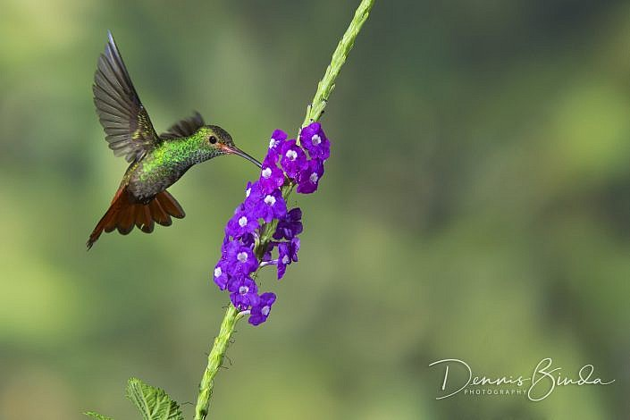 The rufous-tailed hummingbird (Amazilia tzacatl) is a medium-sized hummingbird that breeds from east-central Mexico, through Central America and Colombia, east to western Venezuela and south through western Ecuador to near the border with Peru. Rufous-tai