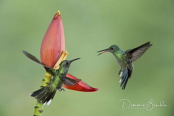 The Scaly-breasted Hummingbird is a fairly large, unadorned hummingbird It is found in Belize, Colombia, Costa Rica, Guatemala, Honduras, Mexico, Nicaragua, and Panama. Its natural habitats are subtropical or tropical moist lowland forests and heavily deg