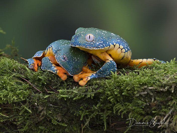 fringe tree frog; cruziohyla craspedopus; rana de hoja amazónica; boomkikker; animal; dier; nature; natuur; wildleven; wild; wildlife; wildlifepics; picture; photograph; foto; photography; photo; camera; no person; nobody; outdoors; amphibie; amfibie; kikker; frog; tadpole; pollywog; water; land; koudbloedig; anura; south amerika; tropisch; regenwoud; tropical; rainforest; nocturnal; frog; kikker; kikkervisje; zuid-amerika; amazonian lowlands; high canopy frog; color; white; wit; black; zwart; brown; bruin; grey; grijs; green; groen; blauw; blue; geel; yellow; rood; red; orange; roze; paars; pink; dennis binda; olympus; nikon; canon;