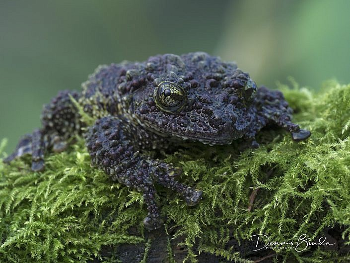 mossy frog; theloderma corticale; vietnamese mossy frog; tonkin bug-eyed frog; schuimboomkikker; animal; dier; nature; natuur; wildleven; wild; wildlife; wildlifepics; picture; photograph; foto; photography; photo; camera; no person; nobody; outdoors; amphibie; amfibie; kikker; frog; tadpole; pollywog; water; land; koudbloedig; anura; azie; asia; vietnam; china; laos; rainforest; threatened; regenwoud; frog; kikker; kikkervisje; kikkervisje; color; white; wit; black; zwart; brown; bruin; grey; grijs; green; groen; blauw; blue; geel; yellow; rood; red; orange; roze; paars; pink; dennis binda; olympus; nikon; canon;