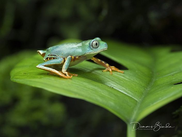 tiger leg monkey tree frog; phylomedhusa tomopterna; barred leaf frog; tiger-striped monkey frog; animal; dier; nature; natuur; wildleven; wild; wildlife; wildlifepics; picture; photograph; foto; photography; photo; camera; no person; nobody; outdoors; amphibie; amfibie; kikker; frog; tadpole; pollywog; water; land; koudbloedig; anura; amazon rainforest; suriname; surinam; nocturnal; kikkervisje; color; white; wit; black; zwart; brown; bruin; grey; grijs; green; groen; blauw; blue; geel; yellow; rood; red; orange; roze; paars; pink; dennis binda; olympus; nikon; canon;