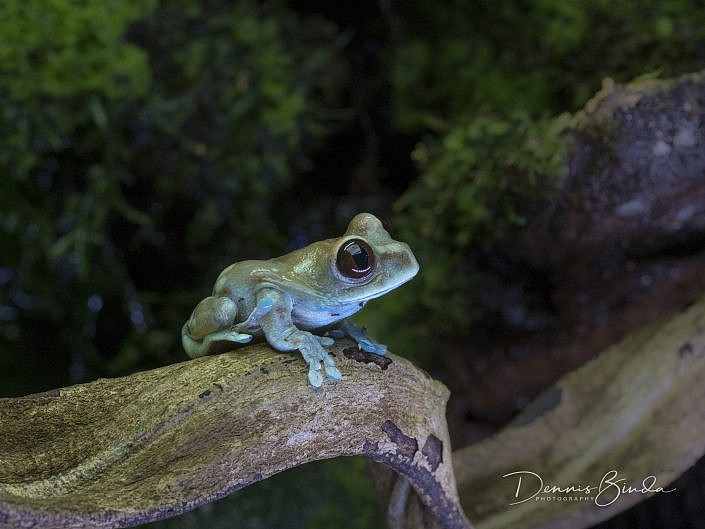 ruby eyed tree frog; leptopelis uluguruensis; animal; dier; nature; natuur; wildleven; wild; wildlife; wildlifepics; picture; photograph; foto; photography; photo; camera; no person; nobody; outdoors; amphibie; amfibie; frog; kikker; kikkervisje; frog; tadpole; pollywog; water; land; koudbloedig; anura; afrika; tanzania; tree frog; boomkikker; kikkervisje; endemic; endemisch; color; white; wit; black; zwart; brown; bruin; grey; grijs; green; groen; blauw; blue; geel; yellow; rood; red; orange; roze; paars; pink; dennis binda; olympus; nikon; canon;