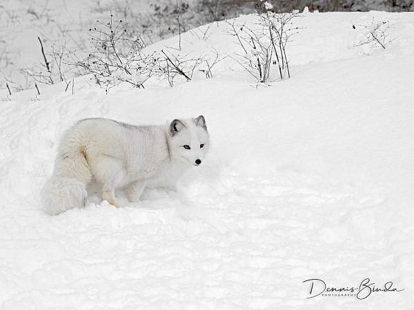 Arctic Fox (Vulpes lagopus), A small fox that lives in the arctic regions. It is well adapted to living in cold environments. It has a deep thick fur which is brown in summer and white in winter.a