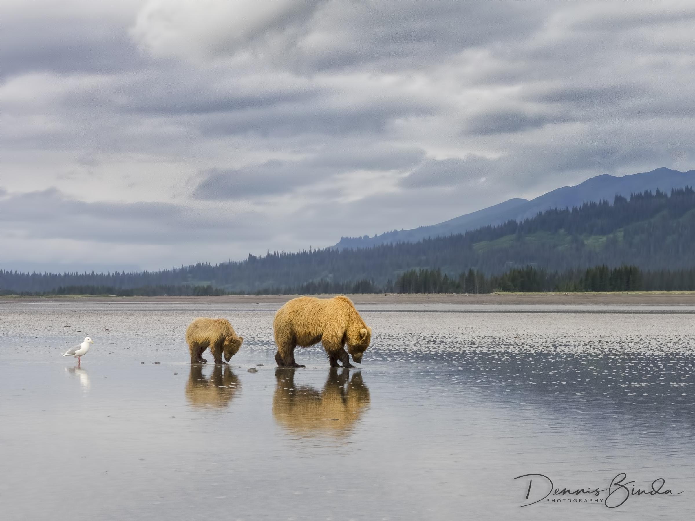 Lake Clark 2014, Brown Bears, Alaska Homestead Lodge, STL Workshop, Charles Glatzer