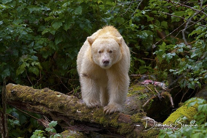 "The Kermode bear (Ursus americanus kermodei, pron. kerr-MO-dee), also known as a ""spirit bear"" (particularly in British Columbia), is a subspecies of the North American Black Bear living in the Central and North Coast regions of British Columbia, Canada. It is noted for about ten percent of their population having white or cream-coloured coats. This colour morph is due to recessive genes common in the population. They are not albinos and not any more related to polar bears or the ""blonde"" brown bears of Alaska's ""ABC Islands"" than other members of their species. Sometimes a black mother can have a white cub. Spirit bears hold a prominent place in the oral stories of the indigenous peoples of the area. It has also been featured in a National Geographic documentary. Scientists have found that black bears are not as effective at catching fish as white bears, as the white bears are less visible from the perspective of the fish. While at night the two colours of bears have similar success rates at catching fish, such as salmon, during the day the white bears are 30% more effective. The kermodei subspecies ranges from Princess Royal Island to Prince Rupert, British Columbia on the coast, and inland toward Hazelton, British Columbia. It is known to the Tsimshian peoples as Moksgm'ol. In the February 2006 Speech from the Throne by the Government of British Columbia, the Lieutenant Governor announced the government's intention to designate the Kermode or spirit bear as British Columbia's official animal. A male Kermode bear can reach 225 kg (500 lb) or more, females are much smaller with a maximum weight of 135 kg (300 lb). Straight up it stands 180 cm (6 ft) tall. It is estimated that there are fewer than 400 Kermode bears in the coast area that stretches from Southeast Alaska southwards to the northern tip of Vancouver Island; approximately 120 inhabit the large Princess Royal Island."