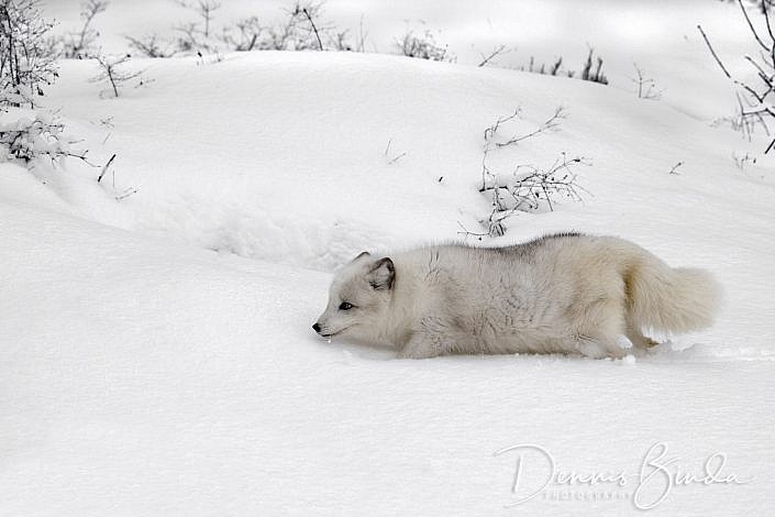 Arctic Fox The arctic fox (Vulpes lagopus), also known as the white fox, polar fox, or snow fox, is a small fox native to the Arctic regions of the Northern Hemisphere and is common throughout the Arctic tundra biome. It is well adapted to living in cold environments. It has a deep thick fur which is brown in summer and white in winter. It averages in size at about 85.3 cm (33.6 in) in body length, with a generally rounded body shape to minimize the escape of body heat. They prey on any small animals they can find, including lemmings, voles, ringed seal pups, fish, and seabirds. They will also eat carrion, berries, and seaweed. They form monogamous pairs during the breeding season and usually stay together in family groups of multiple generations in complex underground dens. Adaptations The arctic fox lives in some of the most frigid extremes on the planet. Among its adaptations for cold survival is its deep, thick fur, a system of countercurrent heat exchange in the circulation within the paws to retain core temperature, and a good supply of body fat. The fox has a low surface area to volume ratio, as evidenced by its generally rounded body shape, short muzzle and legs, and short, thick ears. Since less of its surface area is exposed to the arctic cold, less heat escapes the body. Its furry paws allow it to walk on ice in search of food. The arctic fox has such keen hearing that it can precisely locate the position of prey under the snow. When it finds prey, it pounces and punches through the snow to catch its victim. Its fur changes color with the seasons: in the winter it is white to blend in with snow, while in the summer it is brown. Reproduction The arctic fox tends to be active from early September to early May. The gestation period is 52 days. Litters tend to average 5–8 kits but may be as many as 25 (the largest in the order Carnivora). Both the mother and the father help to raise their young. The females leave the family and form their own groups and the males stay with the family. Foxes tend to form monogamous pairs in the breeding season. Litters are born in the early summer and the parents raise the young in a large den. Dens can be complex underground networks, housing many generations of foxes. Young from a previous year's litter may stay with the parents to help rear younger siblings. The kits are initially brownish; as they become older they turn white. Their coat of fur also changes color when summer arrives, but in winter it is white. Diet The arctic fox will generally eat any small animal it can find: lemmings, voles, hares, owls, eggs, and carrion, etc. Lemmings are the most common prey. A family of foxes can eat dozens of lemmings each day. During April and May, the arctic fox also preys on ringed seal pups when the young animals are confined to a snow den and are relatively helpless. Fish beneath the ice are also part of its diet. They also consume berries and seaweed and may thus be considered omnivores. It is a significant bird egg predator, excepting those of the largest tundra bird species. If there is an overabundance of food, the arctic fox will bury the surplus as a reserve. When its normal prey is scarce, the arctic fox scavenges the leftovers and even feces of larger predators, such as the polar bear, even though the bear's prey includes the arctic fox itself.