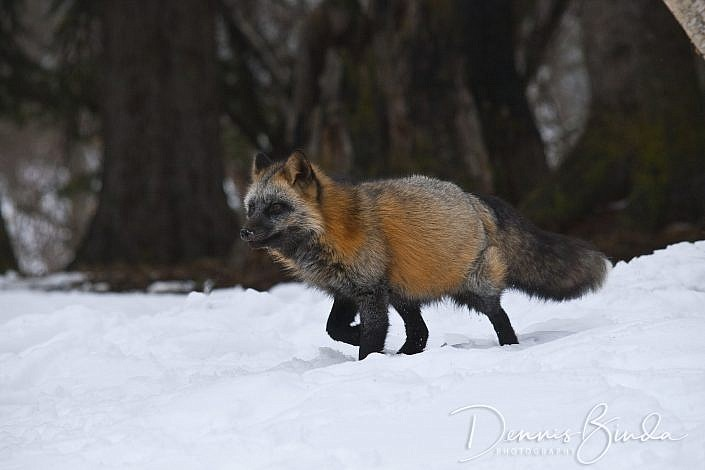 The red fox has been documented in Yellowstone since the 1880s. In relation to other canids in the park, red foxes are the smallest. Red foxes occur in several color phases, but they are usually distinguished from coyotes by their reddish yellow coat that is somewhat darker on the back and shoulders, with black ÒsocksÓ on their lower legs. Red foxes are widespread throughout the northern part of the park with somewhat patchy distribution elsewhere in the park. Wolves successfully competed with coyotes, causing a decline in the coyote population when they were reintroduced. This may have caused an increase in the number of fox sightings in core wolf areas such as the Lamar Valley. Foxes are not often seen because they are nocturnal, usually forage alone, and travel along edges of meadows and forests. During winter, foxes may increase their activity around dawn and dusk, and even sometimes in broad daylight.