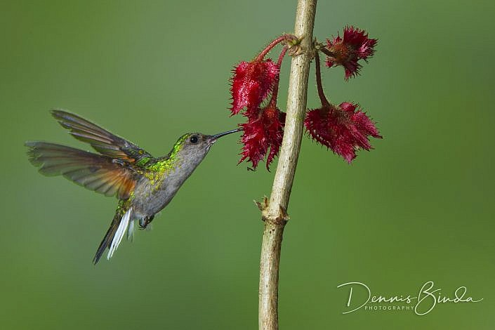 The black-bellied hummingbird (Eupherusa nigriventris) is a species of hummingbird in the family Trochilidae. It is found in moist forest and edge at middle elevations on the Caribbean slope in Costa Rica and Panama