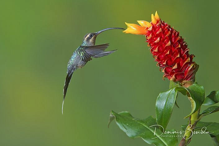 The green hermit (Phaethornis guy) is a large hummingbird, it is about 13.5 cm (5.3 in) long and weighs 6.3 g. It has a reddish bill that is and curved. he female is sooty gray (rather than green) below, with an even longer bill and a much longer tail.