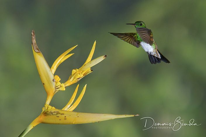 The snowy-bellied hummingbird is found in Costa Rica, Panama and far north-western Colombia.mIt's small hummingbird, the snowy-bellied measures just 10 cm (3.9 in). The Snowy-bellied Hummingbird's clean white belly and its green chest are diagnostic wi