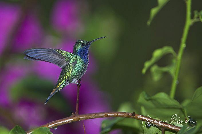 The sapphire-throated hummingbird (Lepidopyga coeruleogularis) is a shiny metallic-green hummingbird found in Panama, Colombia, and more recently Costa Rica. The sapphire-throated hummingbird has a full shiny metallic-green plumage, except for its darker