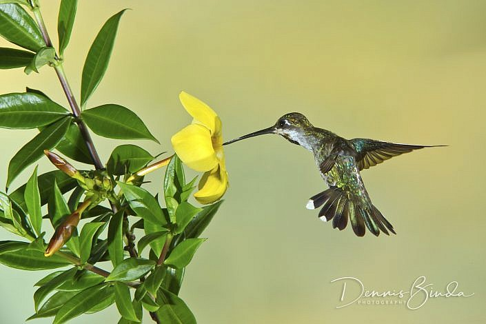 The magnificent hummingbird (Eugenes fulgens) is a large hummingbird. It is the only member of the genus Eugenes. The bird breeds in mountains from the southwestern United States to western Panama. The female magnificent hummingbird is bronze-green dorsal