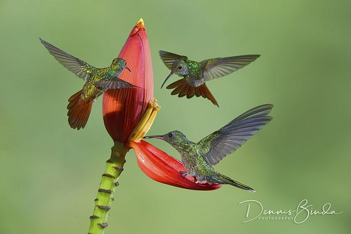 The rufous-tailed hummingbird (Amazilia tzacatl) is a medium-sized hummingbird that breeds from east-central Mexico, through Central America and Colombia, east to western Venezuela and south through western Ecuador to near the border with Peru.