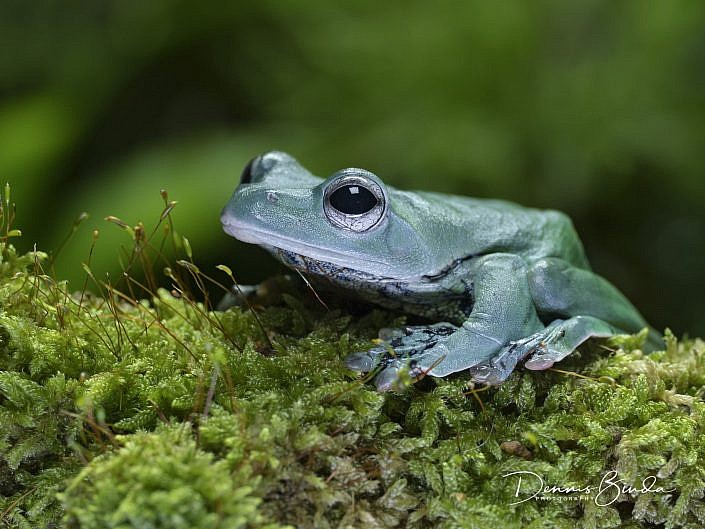 norhayati's gliding frog; rachophorus norhayati; eigentliche ruderfrösche; animal; dier; nature; natuur; wildleven; wild; wildlife; wildlifepics; picture; photograph; foto; photography; photo; camera; no person; nobody; outdoors; amphibie; amfibie; kikker; frog; water; land; koudbloedig; anura; arboreal treefrog; webbed hands; schuimnestboomkikker; azië; boomkikker; kikkervisje; tadpole; pollywog; color; white; wit; black; zwart; brown; bruin; grey; grijs; green; groen; blauw; blue; geel; yellow; rood; red; orange; roze; paars; pink; dennis binda; olympus; nikon; canon;