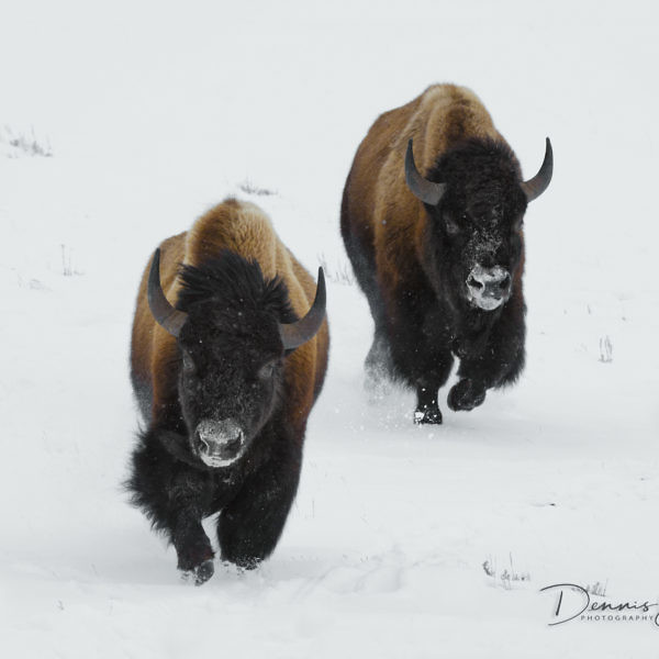 "Though bison once roamed across much of North America, today they are ""ecologically extinct"" as a wild species throughout most of their historic range, except for a few national parks and other small wildlife areas. Yellowstone National Park has the l"